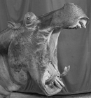 Hippopotamus and Performer, Great Rayman Circus
